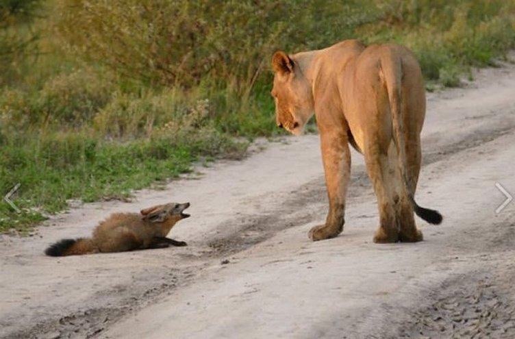 Dişi aslan tilki yavrusuna sahip çıktı