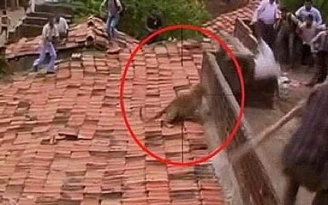 Çatıdaki leopar dehşet saçtı