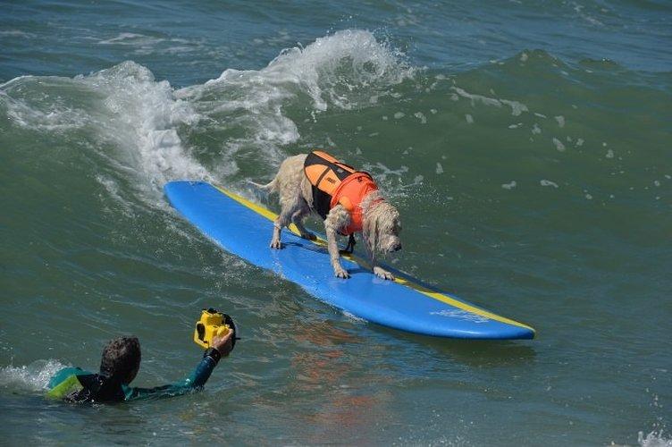 Sörf tutkunu köpekler buluştu