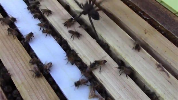 Arı kovanına saldırırsa…