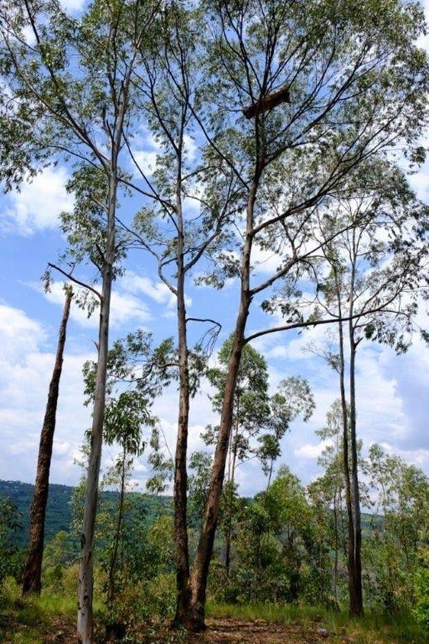 Ruanda Dağ Gorilleri