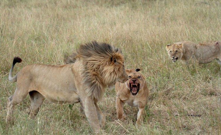 Aslanların korkunç kavgası! Gözü çıktı...