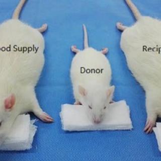 Dünyanın ilk fare kafası nakli yapıldı!