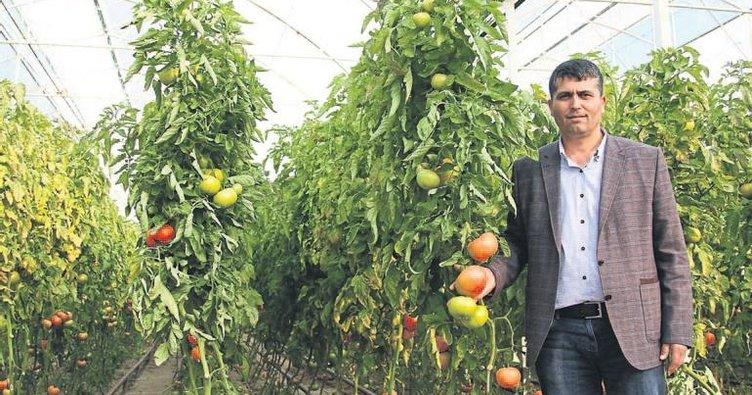 Yeşil domates açılımı