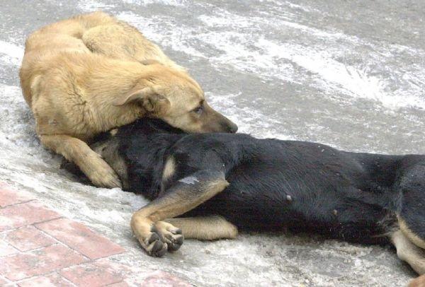 Antalya'da 2 köpek daha zehirlendi