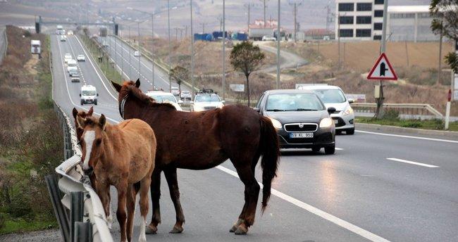 Başıboş atlar en işlek saate trafiği aksattı