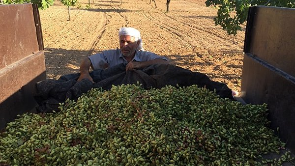 Antep fıstığında hasat zamanı