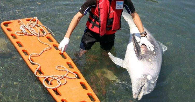 Kıyıya vuran yaralı yunusu kurtarma çabası kamerada