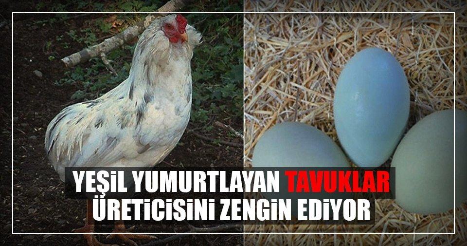 'Yeşil yumurtlayan' bu tavuklar üreticisini zengin ediyor