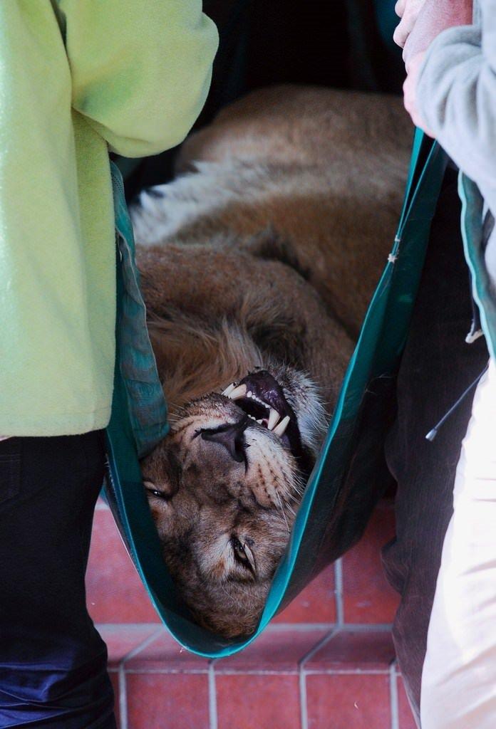 Aslanı böyle yakaladılar