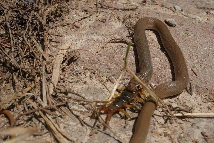 Yılan çıyanı böyle yuttu