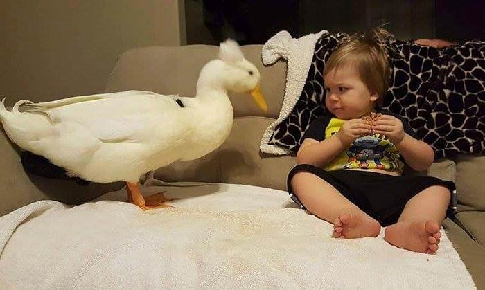 Kendini bebeğin koruyucusu hisseden ördek