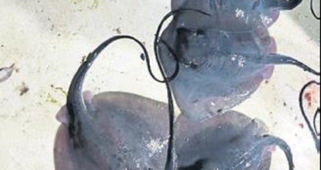 Çeşme'de dev vatoza rastlandı