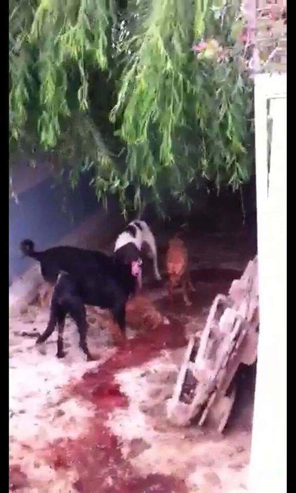 50 köpek birbirini parçaladı