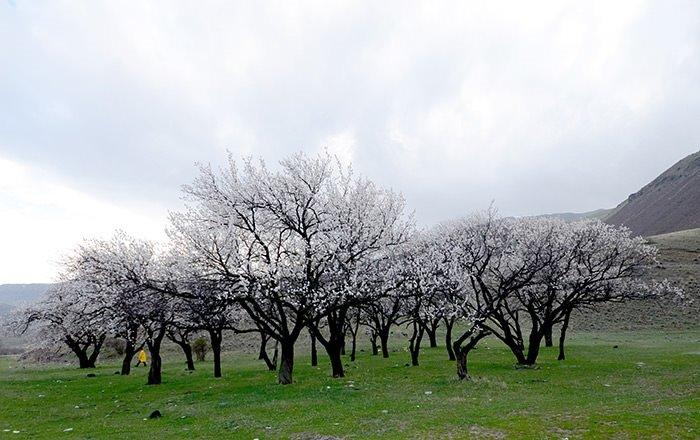 Kars'ta kayısı ağaçları çiçek açtı