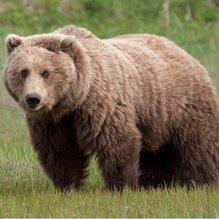 Sakarya'da ayılar arı kovanlarına saldırdı!