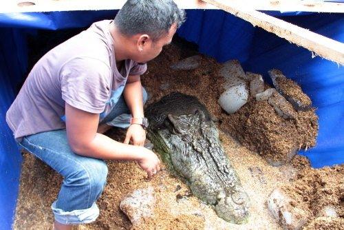 Dünyanın en büyük timsahı öldü
