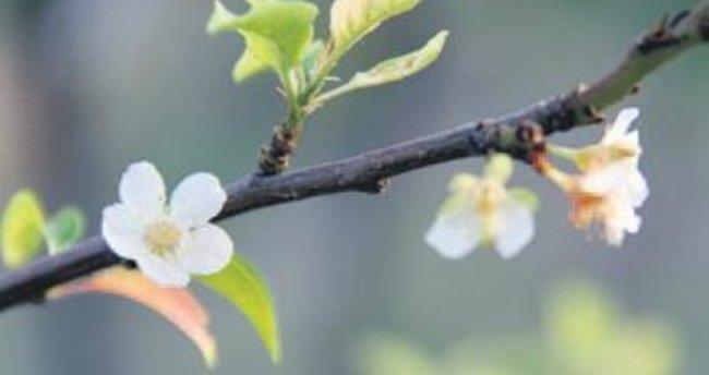 Beypazarı'nda erik ağacı çiçek açtı