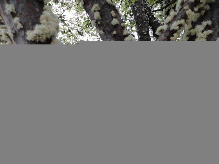 Gövdesinden meyve veren ağaç