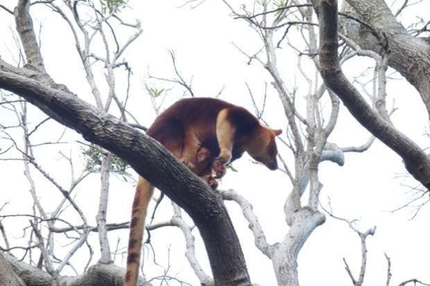 Kanguru yavrusu aylardan sonra görüntülendi