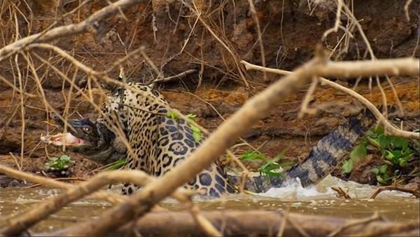 Leopardan ürkütücü av!
