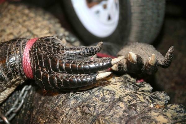 Vahşi doğanın acımasız katili timsahlar