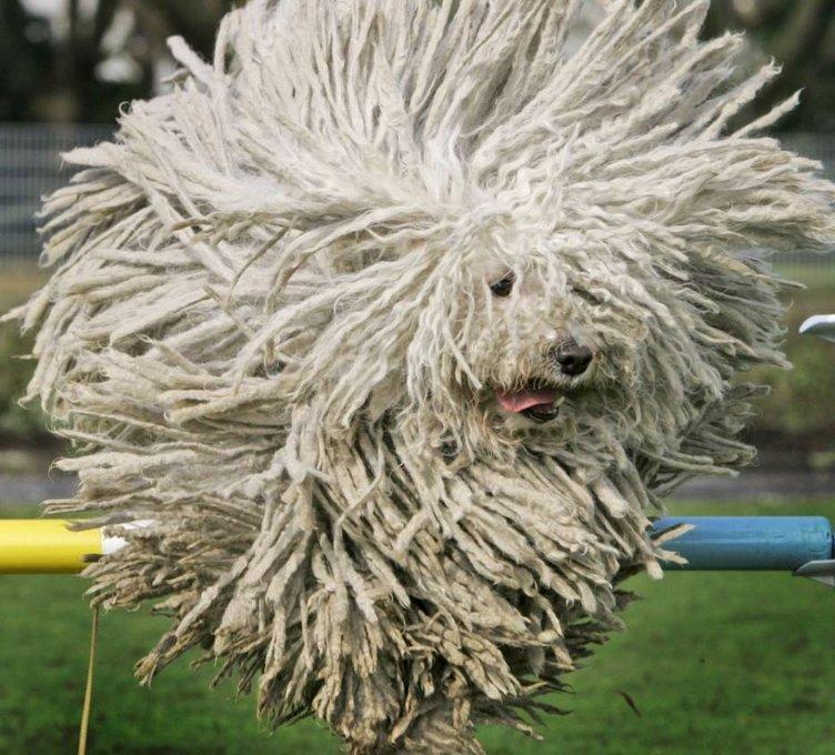 Köpeklerin havalı saç stilleri