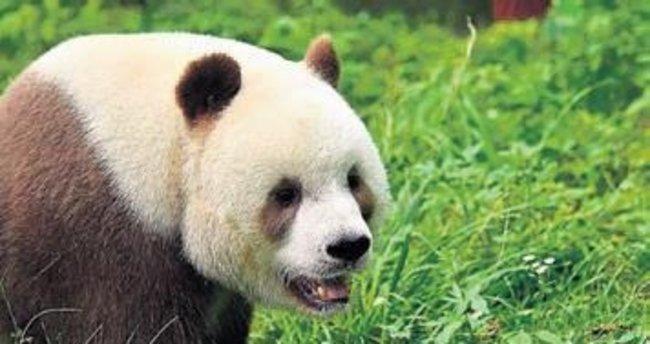 'En mutsuz panda' hayatla barıştı