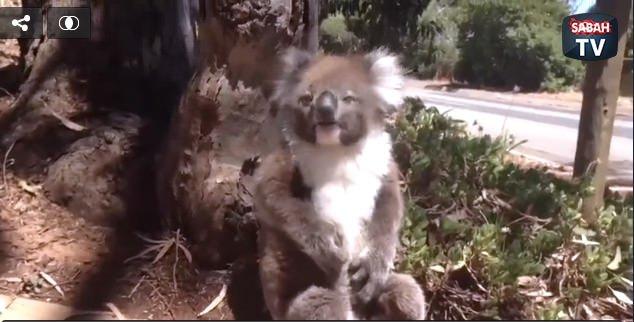 Annesinin evden kovduğu koala hüngür hüngür ağladı