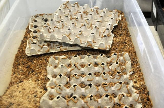 Canlı böcek üretim çiftlikleri sevkiyata başladı
