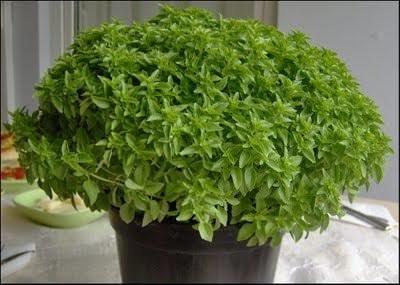 Her derde deva bir bitki: Fesleğen