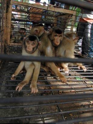 Köle işçi maymunlar