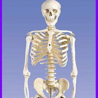 İskelet nedir? iskeletin görevleri nelerdir?