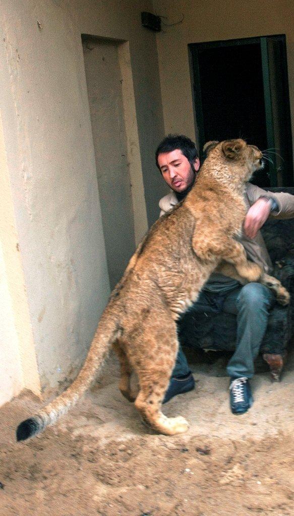 Klibin de oynatacağı aslanın saldırısına uğradı