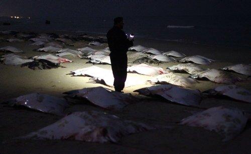 Yüzlerce vatoz karaya vurdu