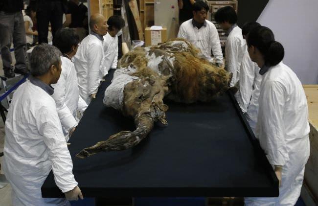 39 bin yıllık mamut sergide