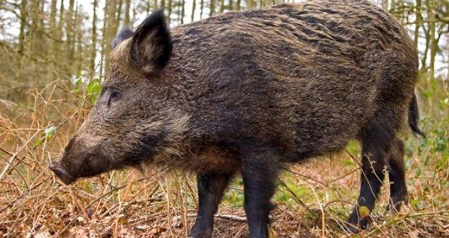 Aydın'da yine domuz eti çıktı!