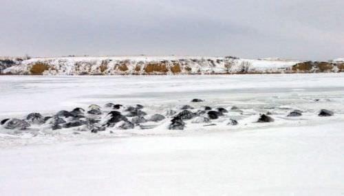 100 sığır soğuktan donarak öldü