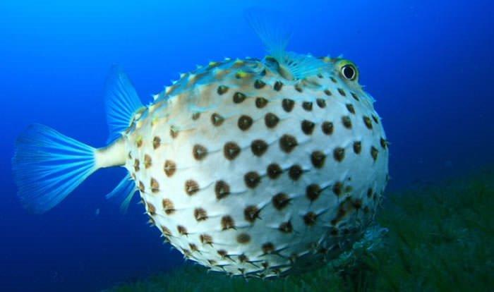 Akdeniz'de zehirli balon balığı tehlikesi