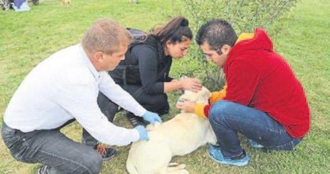 Köpekler aşılandı tasmaları takıldı