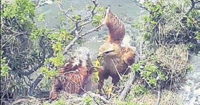 Kızıl Şahinlerin doğal hayatı görüntülendi