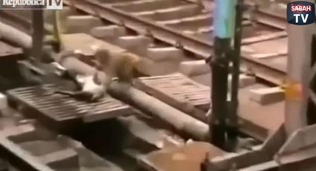 Elektrik çarpan arkadaşını kurtaran maymun