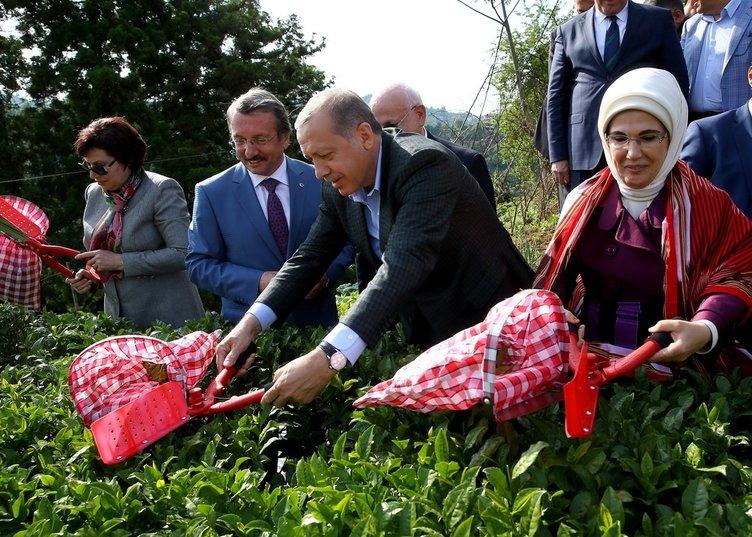 Cumhurbaşkanı Erdoğan Rize'de çay hasadı yaptı!