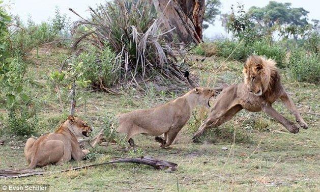 Aslan'ın şaşırtan hareketi