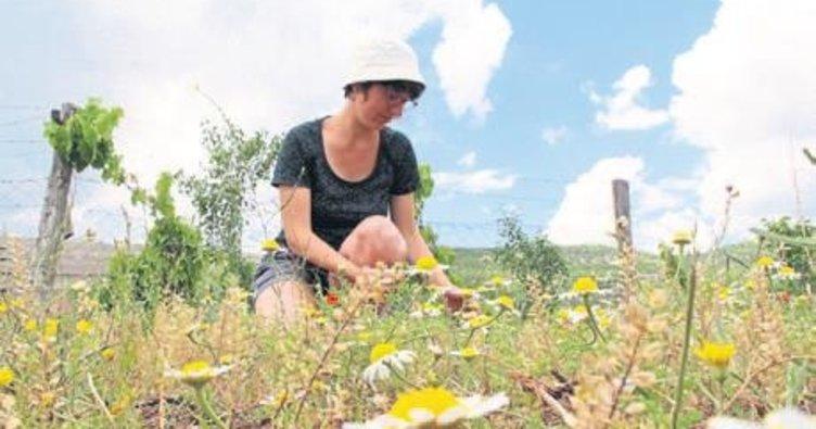 Lisinia'da papatya yağı üretim zamanı