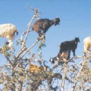 Meğer keçiler argan ağacının dostuymuş
