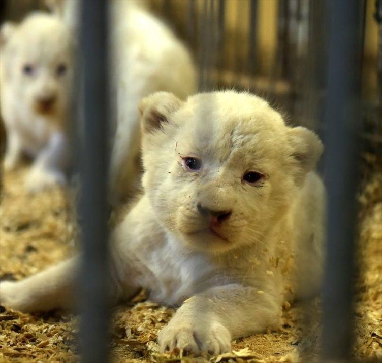 Polonya'da 4 beyaz aslan ile 3 beyaz kaplan dünyaya geldi.