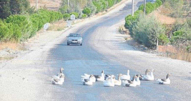 Karayoluna çıkan kazlar trafiği etkiledi