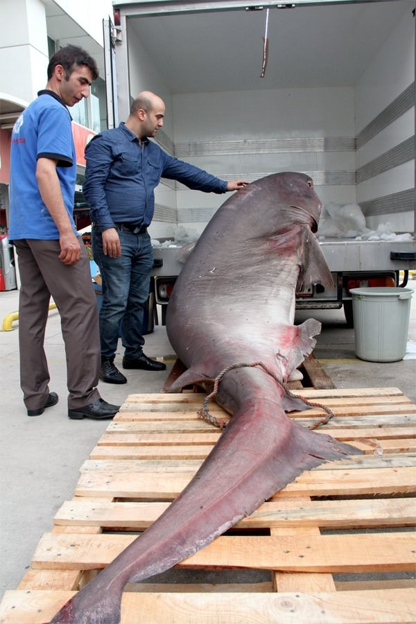 Bursa'da 673 kiloluk köpek balığı