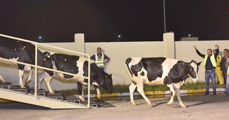 Katar'a ilk parti inekler ulaştı!